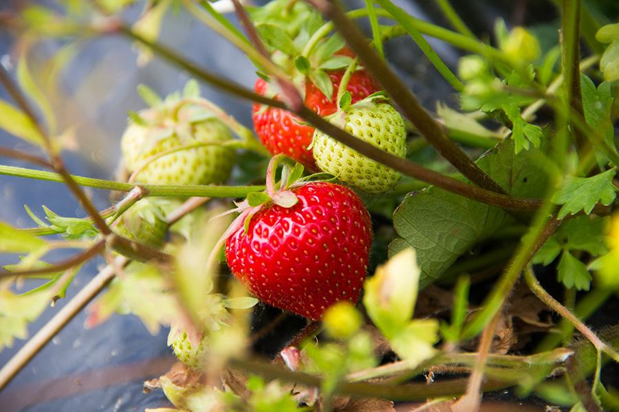 cueillete-de-fraises-touraine