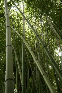 bambous-geants